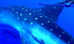潜水员在海里拍摄海洋生态,后面忽然出现一条超级大型的…